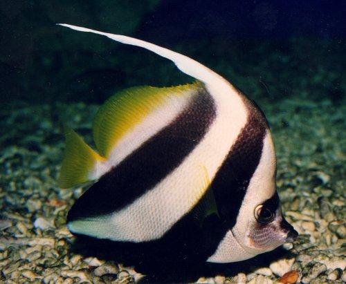 Pez mariposa for Peces para acuarios pequenos