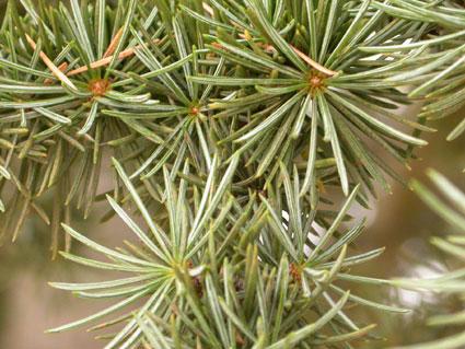 Clave hojas aciculares for Ejemplos de arboles de hoja perenne